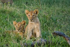 Lion cubs in the wilds of Hluhluwe Game Reserve. Hluhluwe Game Reserve, Lion Cub, Wildlife Photography, Cubs, South Africa, Animals, Animales, Bear Cubs, Animaux