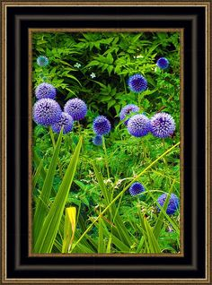 Flowers #Framed #Print featuring the photograph #Blue #Allium #Flowers by Judi Saunders. Choose your style and color of frame from many choices.