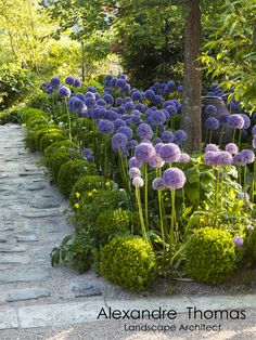 Allium 'Globemaster' and Boxwood in Agapanthus Garden. Summer is coming!