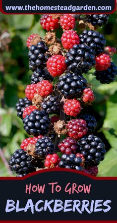 Learn how to grow blackberries in this post. These delightful berries, if properly cared for, can give you a delightfully delicious crop of berries for years to come.