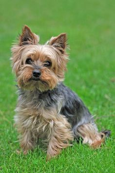 Yorkshire Terrier Puppies are the cutest dogs in the world that come from Yorksh… - Tiny Baby Animals Yorky Terrier, Yorshire Terrier, Cairn Terriers, Scottish Terriers, Boston Terriers, Yorkies, Yorkie Puppy, Yorkshire Terrier Haircut, Yorkshire Terrier Puppies