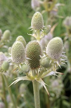 agave-leaved sea holly
