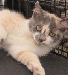 Meet Beya, an adoptable Domestic Short Hair looking for a forever home. Beya Cat • Domestic Short Hair Mix • Baby • Female • Medium Stray Hearts Animal Shelter Taos, NM