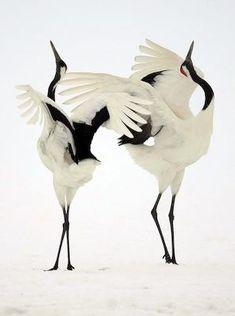 Japanese Ballet Cranes
