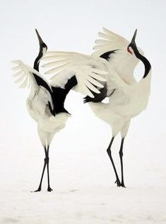 Courting dance of the red-crown cranes. The start to a lifetime of companionship.