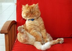 Persian cats 21 pictures (14)