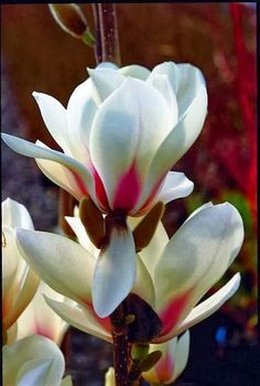 Magnolia 'Manchu Fan'~~Beauty of Flowers & Gardens
