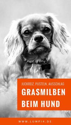 Juckreiz! Pusteln! Ausschlag! Grasmilben! ▶ Die winzigen Stiche der Grasmilbenlarve sieht man kaum, aber sie jucken entsetzlich, und der Hund kratzt oder benagt sich unaufhörlich || Hund | Juckreiz | Ausschlag | Allergie | Sommer | Grasmilben | Milben ||