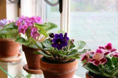 African violets have one job: To bloom! To insure a constant parade of flowers, do what I do, and give the plants everything they require: Bloom, Diy Makeup Primer, Garden Plants, Indoor Plants, Flowering Plants, Indoor Flowers, Vegetable Garden, Saintpaulia, Garden Windows