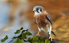 American kestrel falcon by ikord