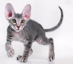 Peterbald. So cuuuuute! Hails from Russia. Hypoallergenic