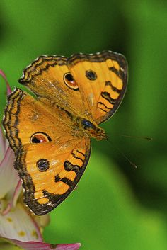 Peacock Pansy Butterfly by Kenneth Er | Flickr - Photo Sharing!