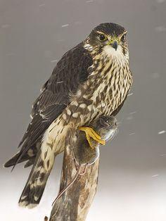 Merlin, female with dinner