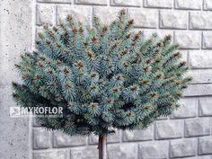 Picea pungens Tokarz Pa 40-60cm
