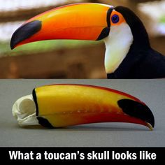 This toucans skull fun funny funny pics Animals Images, Animals And Pets, Cute Animals, Wild Animals, Baby Toucan, Dark Under Eye, Love You Dad, Whippet, Fun Facts