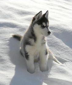 Siberian Husky puppy❥✧➳ Pinterest: miabutler
