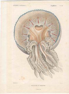 1836 jellyfish medusa original antique sea by antiqueprintstore