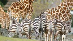 Giraffen » Dierenpark Emmen