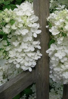 Hydrangea ~ one of my favorites! Love the white against the rustic fence.