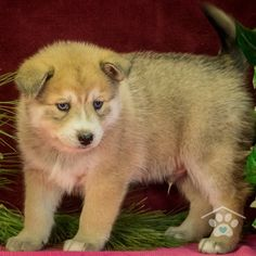 Check out the Pomsky puppies for sale at One Bark Plaza. Our Pomsky breeders are trustworthy and honest, so contact us to meet your Pomsky today. Pomsky Puppies For Sale, Small Puppies, Pomsky Breeders, Puppy Breeds, Friends Forever, Cuddle, Puppy Love, Husky, Corgi