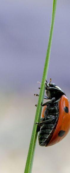 Ladybug on a narrow journey