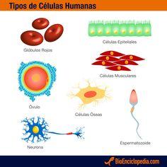 Tipos de células del cuerpo humano