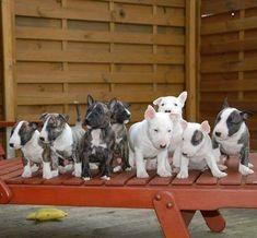 Uplifting So You Want A American Pit Bull Terrier Ideas. Fabulous So You Want A American Pit Bull Terrier Ideas. English Bull Terrier Puppy, Chien Bull Terrier, Mini Bull Terriers, Pitbull Terrier, Cãezinhos Bulldog, Bulldog Puppies, Cute Puppies, Cute Dogs, Beautiful Dogs