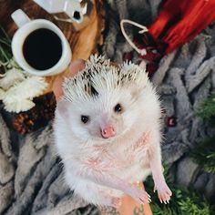 "It's a ""drag me out of bed"" kinda Monday. ♂️ . . . . . . #animalsdoingthings #animals #animallover #animalkingdom #animalsofinstagram #babyanimal #hedgehog #weeklyfluff #thedodo #animalsco #pets #9gagcute #earthofficial #buzzfeedanimals #rspets #teamSELF #folkgood #spacewheel #britstagram #BYthings #iheartanmls #petscorner #discoverearth #animaladdicts #natgeoanimal #hedgehogsofinstagram #petsofinstagram #adorable #shotoniphone #9gag #hedgehog @anadolugram @animaladdicts @babyanimals..."