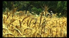 THE WHEAT HARVEST - His winnowing fork is in his hand - YouTube