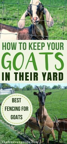 Fencing for goats is so important. A good fence will keep them safe and keep them contained. Learn which options are best. Raising Goats Livestock Homesteading Dairy Goats Raising Goats for Beginners Keeping Goats, Raising Goats, Raising Farm Animals, Goat Fence, Goat Toys, Goat Shelter, Nubian Goat, Goat Care, Nigerian Dwarf Goats