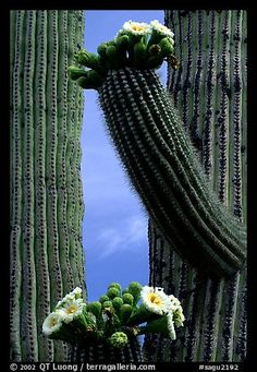 cactus in bloom. I want to see them in blossom! Desert Flowers, Desert Plants, Wild Flowers, Sequoia National Park, National Parks, Cacti And Succulents, Cactus Plants, Farmhouse Garden, Cactus Flower