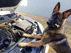 #GSD....Lol. GSD's are so smart! He could probably fix the car!
