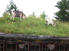 Old Country Market - Goats live on the roof -Coombs- Vancouver island - Between Qualicum Beach and Parksville