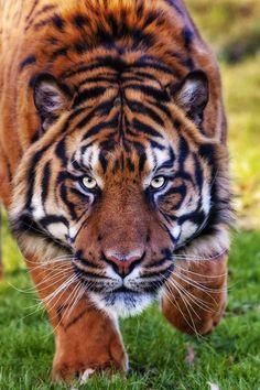 Intensity, by Big Cat Photos UK