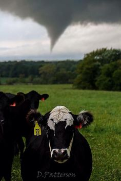 Even the local cows have to see what us storm chasers are doing. Tornado yesterday near Hillsdale KS.