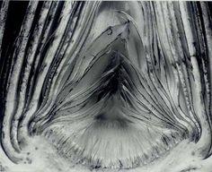 Edward Weston, Artichoke, Halved, 1930                                                                                                                                                      More
