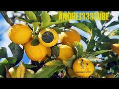 Botanica - Potatura del limone - YouTube
