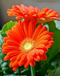 Orange gerber daisies scream spring and summer! Orange gerber daisies scream spring and summer! The post Orange gerber daisies scream spring and summer! appeared first on Easy flowers. Orange Flowers, My Flower, Orange Color, Beautiful Flowers, Fresh Flowers, Flowers Gif, Daisy Flowers, Beautiful Couple, Sunflowers