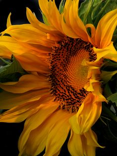 Beautiful sunflower at Wallingford's Orchard in Auburn, Maine - photo by H. Joie Crockett copyrighted image
