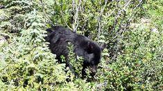 Canada - Rencontre avec un ours noir Parc National De Banff, Black Bear, Canada, Decoration, Animals, American Black Bear, Dating, Decor, Animales