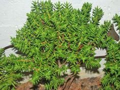 Crassula tetragona - Miniature Pine Tree | Pinterest | Pine tree ...