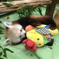 Knoxville Zoo is now home to five red panda cubs! We're very happy to introduce you to Lincoln! Lincoln, a six-month-old male cub who will be reared with female cubs Xue Li and Delilah, came to Knoxville from Nebraska on Friday, January Panda Love, Panda Bear, Knoxville Zoo, Pandas Playing, Baby Animals, Cute Animals, In The Tree, Otters, Nepal