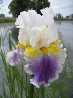 Photo of the bloom of Tall Bearded Iris (Iris 'Beacon of Light') Iris Flowers, Types Of Flowers, Exotic Flowers, Amazing Flowers, Spring Flowers, Planting Flowers, Beautiful Flowers, Irises, Gladioli