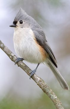 tufted titmouse. I love these little sweeties. They come every day to my deck feeders. There are three types in particular that really trust me: tufted titmice, the carolina wrens, and the dear little black capped chickadees. All three seem to totally know it's mealtime when I come outside. They allow me to get so, so close. It wouldn't be hard to hand feed them.♥