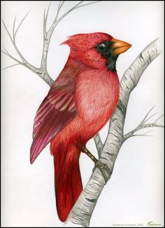 Northern Cardinal by winternacht on DeviantArt Bird Drawings, Animal Drawings, Watercolor Bird, Watercolor Paintings, Cardinal Drawing, Cardinal Paintings, Christmas Paintings On Canvas, Bird Pictures, Painting Patterns