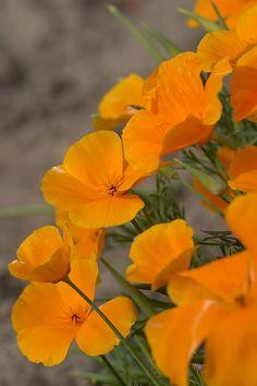 Eschscholzia californica, Sömntuta Orange, Ettårig 30cm