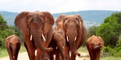 """Demand action to save the rare elephants of Mali from the guns of poachers   """"It is estimated that just 350-500 Gourma elephants, a rare breed exclusive to Mali, are left – and authorities believe that 19 elephants from the group have been killed for their tusks by poachers in the past month."""" Click for details and please SIGN and share petition. Thanks."""