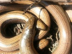 Close up slow worm love.