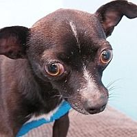 Portland, OR - Chihuahua. Meet Clara a Dog for Adoption. Chihuahuas For Adoption, Pet Adoption, Animal Shelter, Animal Rescue, Cats For Sale, Chihuahua Mix, Humane Society, Dog Mom, Rescue Dogs