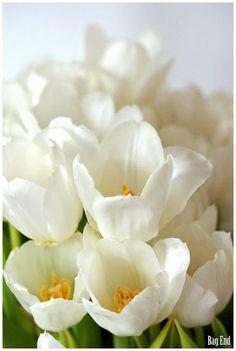 White tulips / Valkoisia tulppaaneita